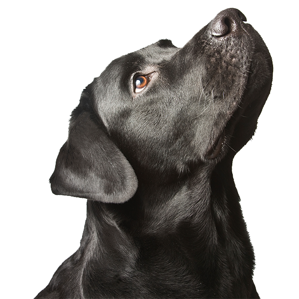 Black labrador looking upwards